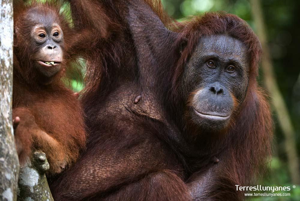 Viajes Indonesia. Orangutanes de Borneo